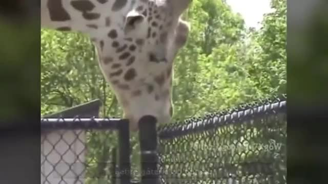 Watch and share Animals GIFs and Giraffe GIFs on Gfycat