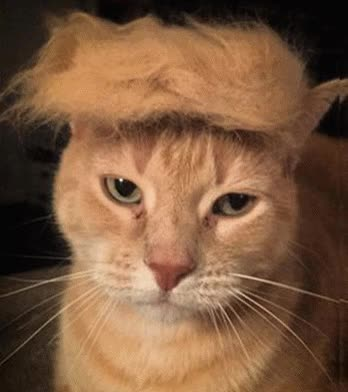 Watch and share PU Donald Cat GIFs on Gfycat
