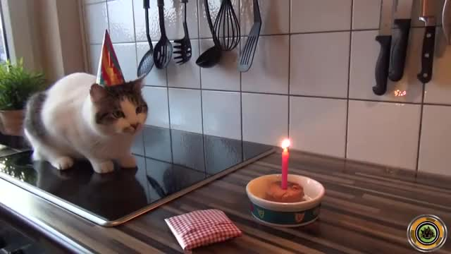 Watch and share Happy First Birthday /r/MildlyStartledCats! (reddit) GIFs on Gfycat