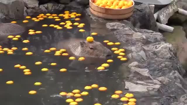 Watch and share Capybara GIFs on Gfycat