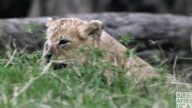 Watch this animal GIF by BBC America (@bbcamerica) on Gfycat. Discover more animal, animals, bbc america, bbc america dynasties, bbc america: dynasties, cute, dynasties, hello, hey, lion, lions GIFs on Gfycat