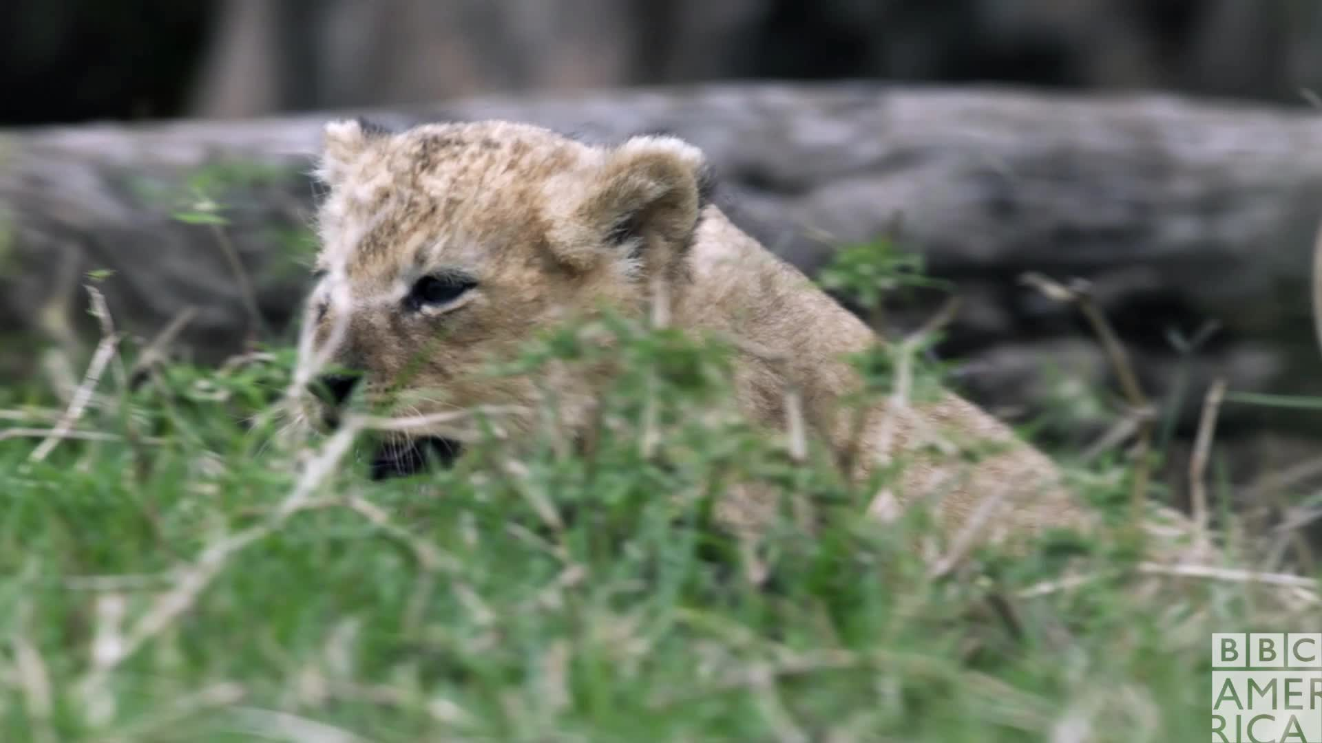 animal, animals, bbc america, bbc america: dynasties, cute, dynasties, hello, hey, lion, lions, Dynasties Lion Cub GIFs