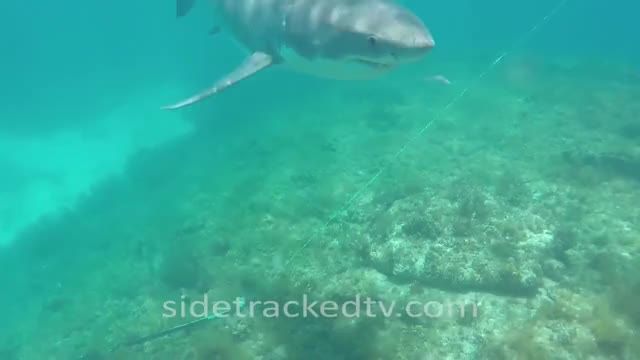 Watch and share Great White Sharks GIFs and I Love Sharks GIFs on Gfycat
