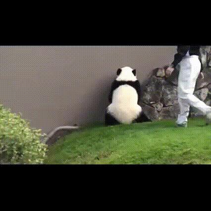 actuallyfunny, animalgifs, panda, Panda rolling down a hill GIFs