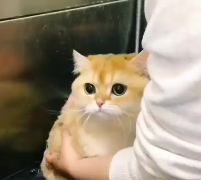 aww, awww, awwwww, cat, cute, kitten, meow, Adorable cat getting a scrub GIFs