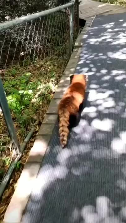 Watch and share Red Panda GIFs by nyctilaur on Gfycat