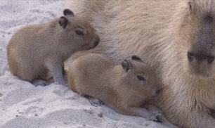 animals, baby, capybara, capybaras, cute, nature, sdzoo GIFs