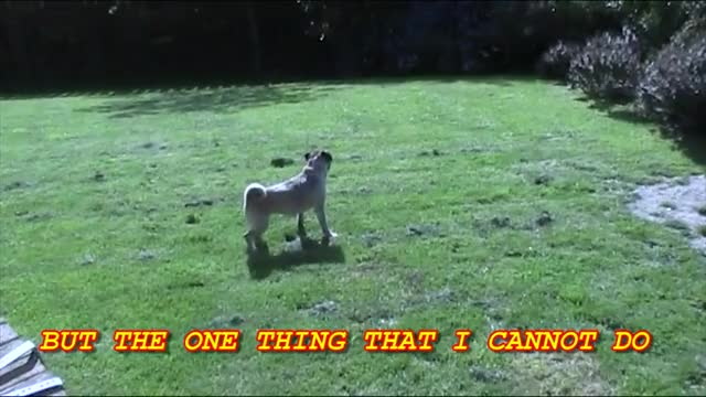 Watch I can't feckin' run GIF on Gfycat. Discover more Belfast, Loca, boxer, boxer dog, boxer video, cute, cute video, fail, fail video, funny animal video, funny dog video, funny video, irish, irish video, loca the pug, loca video, pug, pug video, singing dog GIFs on Gfycat