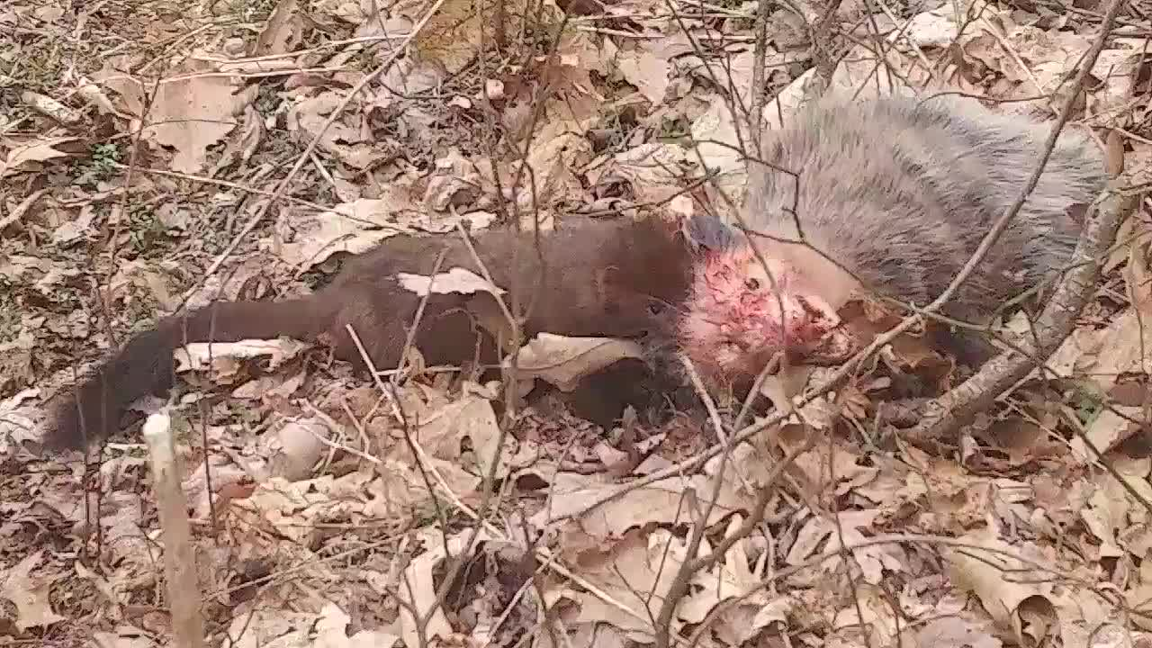 Mink slowly but surely killing an Opossum GIFs