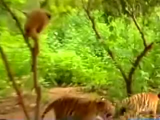 Watch monkey pranks tiger GIF on Gfycat. Discover more baby, funny baby, pranks GIFs on Gfycat