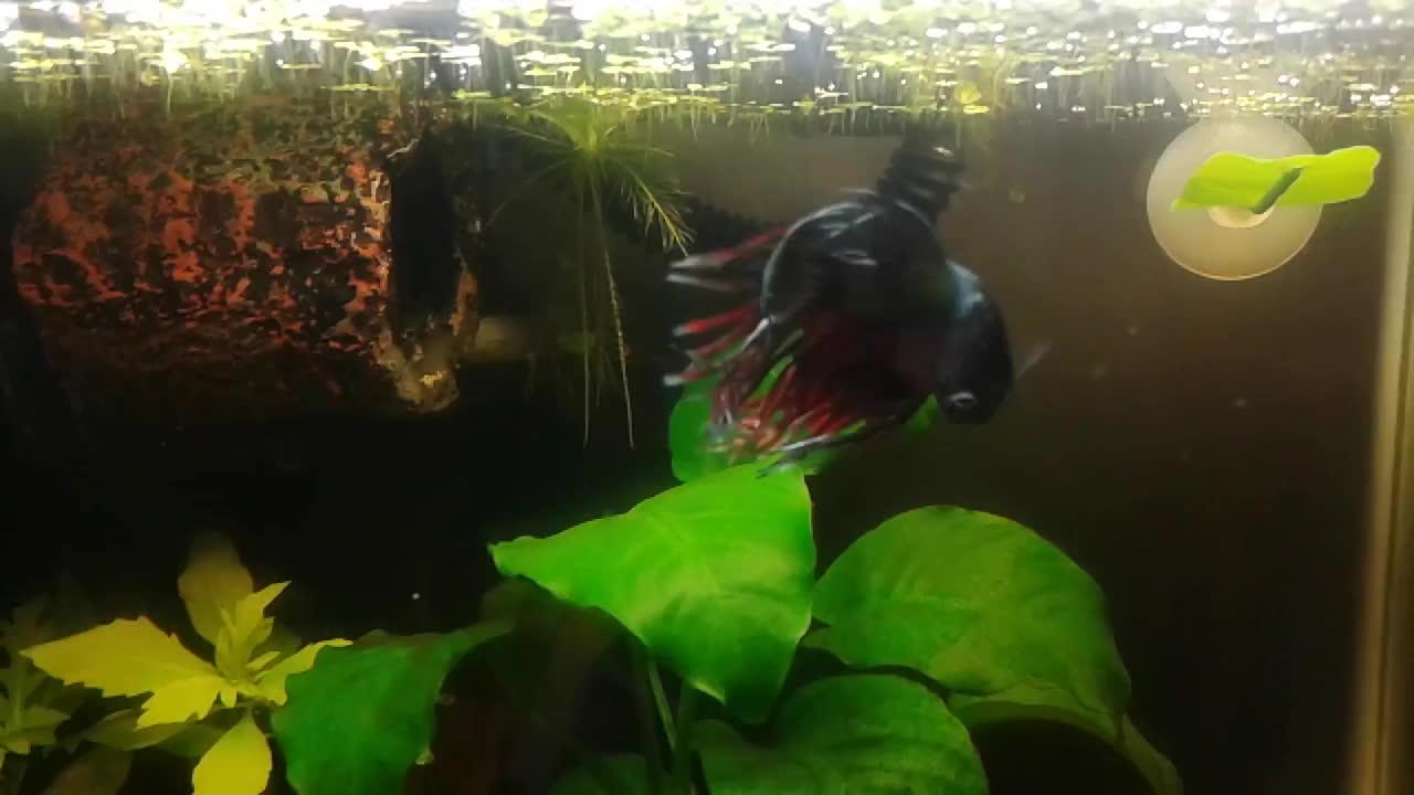 aquariums, bettafish, Vinculus GIFs