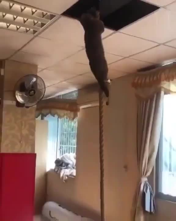 Watch and share Cat Climbs Down Rope GIFs by Boojibs on Gfycat