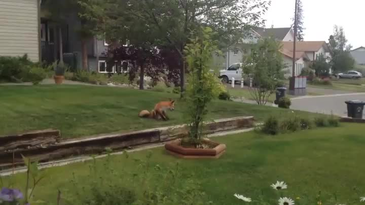 nature, A wild fox discovered a dog toy in someone's yard GIFs