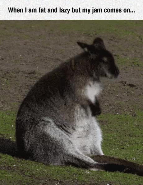 Watch and share Funny Fat Kangaroo Dancing GIFs on Gfycat