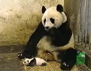 Watch sneezing panda GIF on Gfycat. Discover more funny, panda GIFs on Gfycat