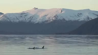 Watch and share Killer Whales GIFs and Wildlife Gif GIFs on Gfycat
