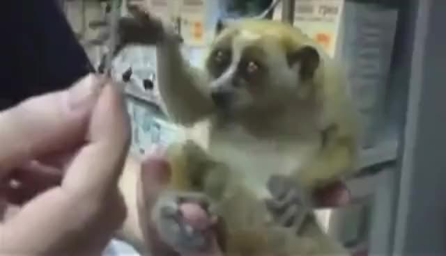 Watch and share Slow Loris GIFs and Funny GIFs on Gfycat