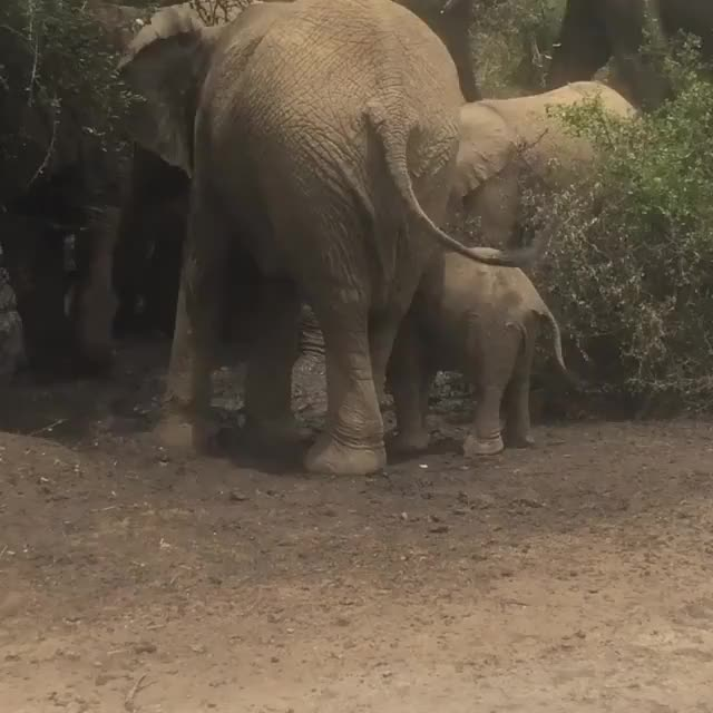Watch Perfect start of the week! This baby did not exactly know what to do with this mudbath but still got very exciting! GIF by PM_ME_STEAM_K3YS (@pmmesteamk3ys) on Gfycat. Discover more Lisa van Dijk, babyelephants, hluhluweimfolozi GIFs on Gfycat