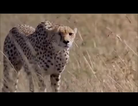 Watch and share Cheetah Full Speed GIFs on Gfycat