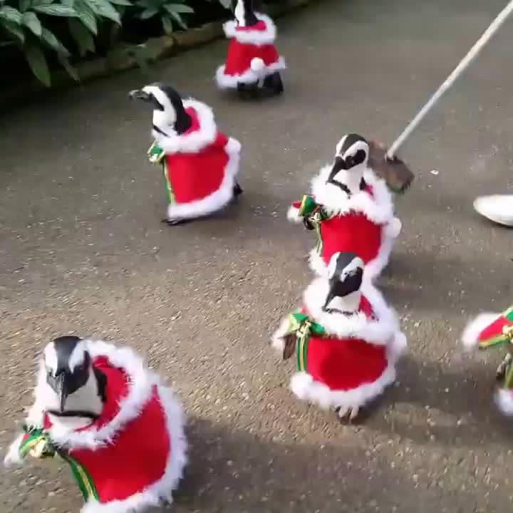 Christmas, Japan, Mahfoud Najim, Penguins, Pets & Animals, animal, Christmas Penguins in Japan GIFs