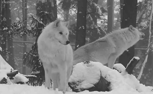 Watch this trending GIF on Gfycat. Discover more animals, wolf, wolves GIFs on Gfycat