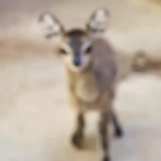 An Adorable Baby Dik-Dik Antelope GIFs