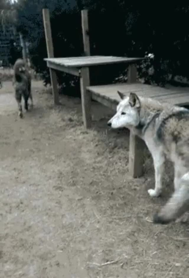 Watch and share Wolf GIFs by tothetenthpower on Gfycat