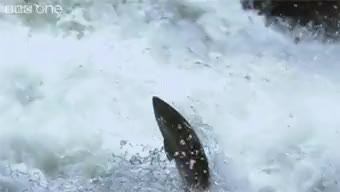 Watch and share Salmon GIFs on Gfycat
