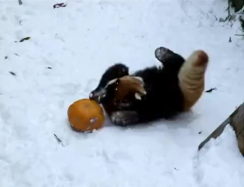 Watch Red Panda GIF on Gfycat. Discover more related GIFs on Gfycat