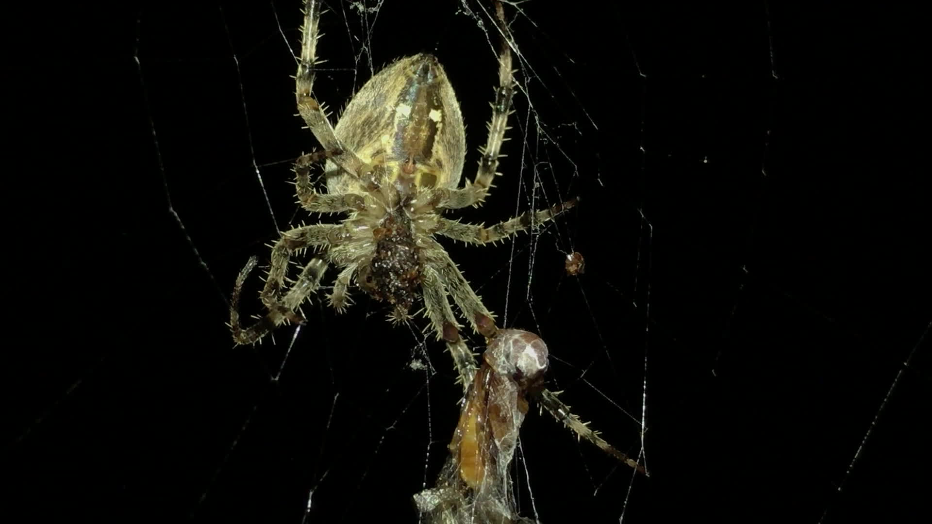 natureismetal, orb weaver, Hungry hungry spider GIFs