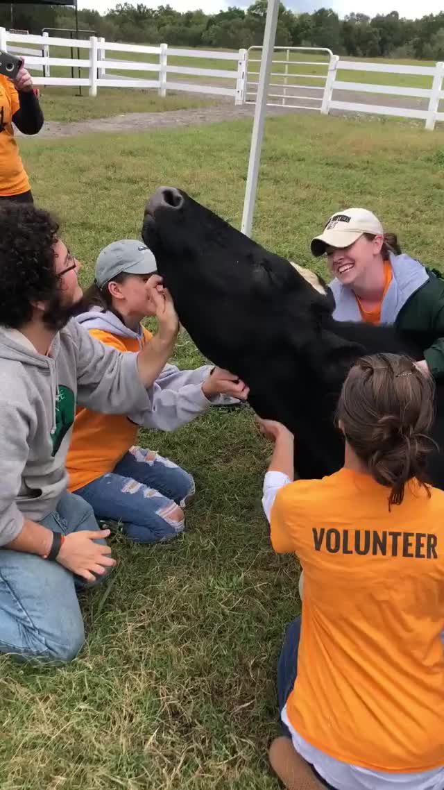 Watch and share Captain The Cow Has His Own Personal Scratch Team GIFs on Gfycat