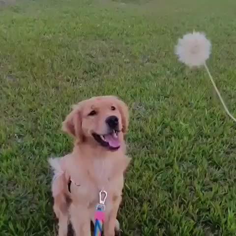 dandelion, dentedeleao, dog, dogoftheday, dogsofinstagram, expectationvsreality, fds, goldenretriever, goldenretriever_br, goldenretrievers, goldenretrieversofinsta, goldens, goldensofinstagram, instapet, londrina, niceday, pet, pupsofworld, weekend, yellowdog, Wait for it! • @tulipa_golden 🤣 . Expectation vs Reality 😂 . GIFs