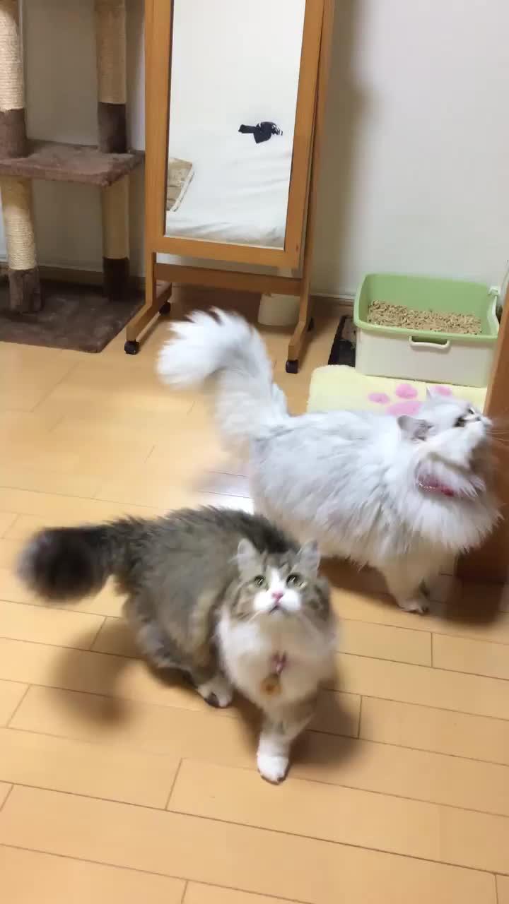 NamFlashbacks, cat, catpranks, cats, cute, kitten, kitty, namflashbacks, White lion scared of a bubble (reddit) GIFs