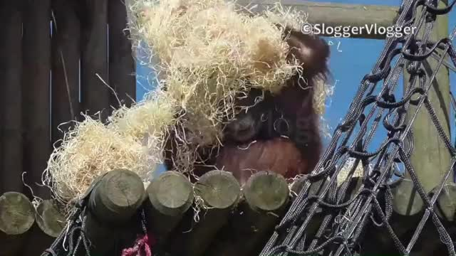 Watch Orangutan Knows How To Cool Down GIF on Gfycat. Discover more orang utan, orang-utan, orangutang GIFs on Gfycat