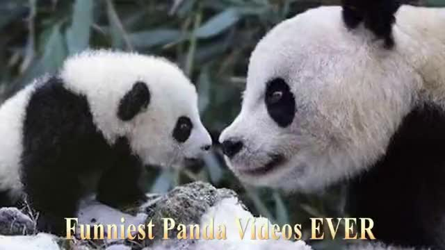 Watch PANDA VIDEOS GIF on Gfycat. Discover more Panda, babies, baby, cute, funniest, funny GIFs on Gfycat