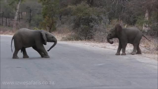 Watch Baby Elephants Having Fun. GIF by PM_ME_STEAM_K3YS (@pmmesteamk3ys) on Gfycat. Discover more animals, baby elephants, elephants, fun, funny, funny animals, kruger national park, kruger park, safari, travel GIFs on Gfycat