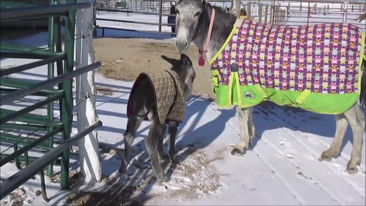 Longhopes Donkey Shelter, donkey, longhopes donkey shelter, Frenchie and her mother, Rizzo enjoy a snow day at Longhopes Donkey Shelter GIFs