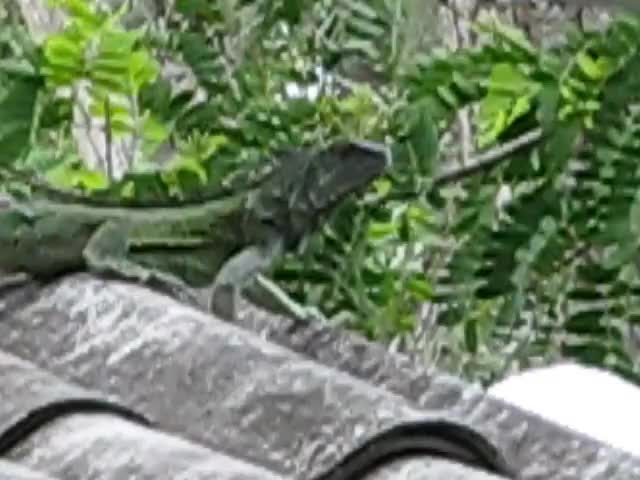 Watch and share Iguana GIFs by organicredditor on Gfycat