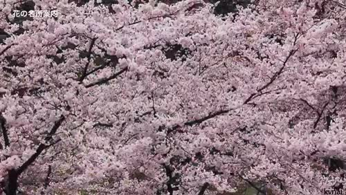 Watch and share Cherry Blossoms GIFs and Hirosaki GIFs on Gfycat