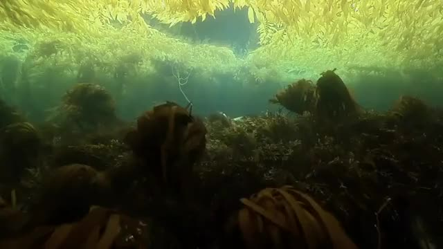 Watch and share Underwater Kelp Forest GIFs by redditor on Gfycat