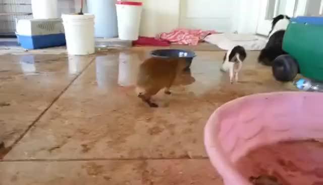 Watch and share Capybara Popcorning GIFs on Gfycat