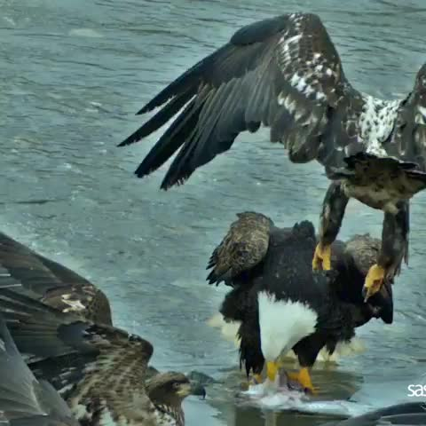 Watch and share Slow Motion Eagle Fight GIFs by Boojibs on Gfycat