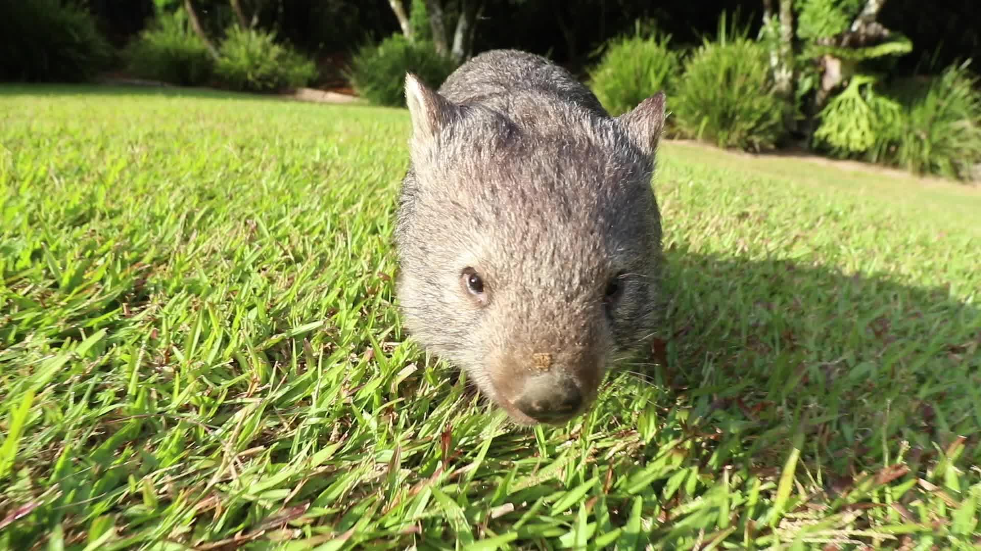 awww, circlejerkaustralia, wombat, Wattle the wombat GIFs