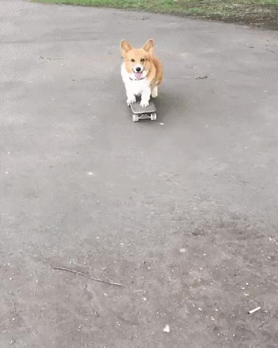 Watch Skater corgi GIF on Gfycat. Discover more dog GIFs on Gfycat