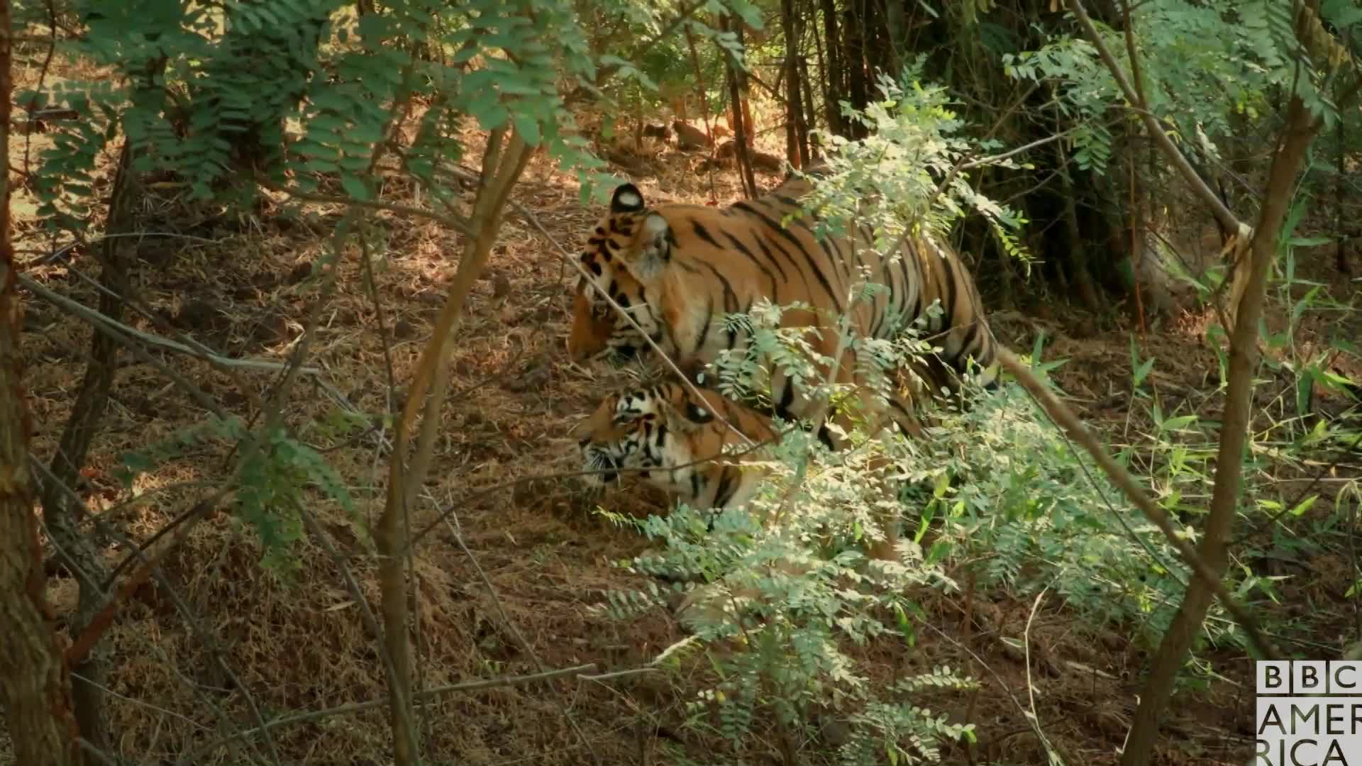 animal, animals, bbc america, bbc america dynasties, bbc america: dynasties, dynasties, love, mating, sex, tiger, tigers, Dynasties Tigers Mating GIFs