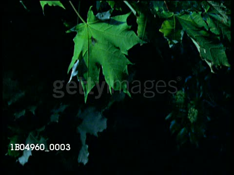 Brown long-eared bat catches a moth GIFs