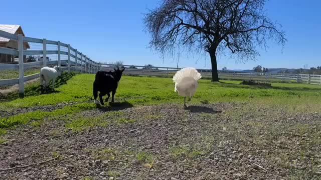 Watch and share Charlie's Acres Farm Sanctuary GIFs by b12ftw on Gfycat