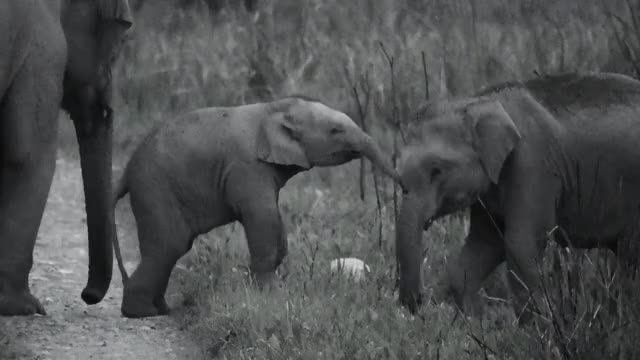 Watch Baby Indian elephants Playing GIF by PM_ME_STEAM_K3YS (@pmmesteamk3ys) on Gfycat. Discover more Elephants, India, Pets & Animals, Shannon Heng, baby GIFs on Gfycat