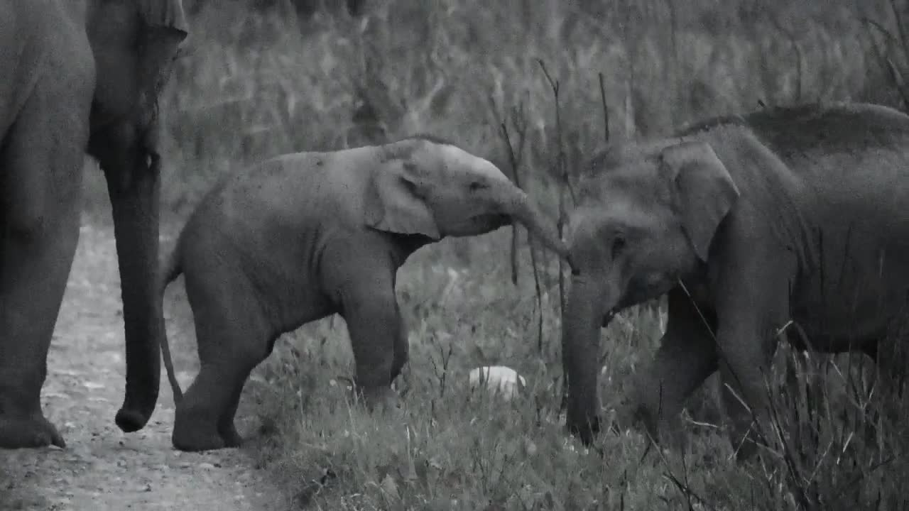 Elephants, India, Pets & Animals, Shannon Heng, baby, Baby Indian elephants Playing GIFs