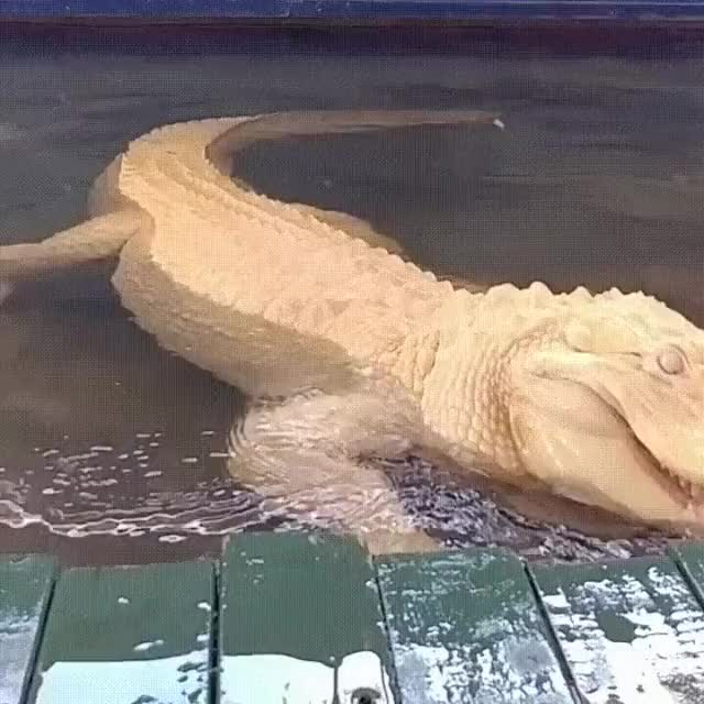 Watch this alligator GIF on Gfycat. Discover more alligator, gator GIFs on Gfycat